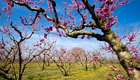 Blooming cherry trees in orchard