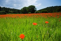 Poppies growing in meadow