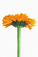 Calendula officinalis, pot marigold (thumbnail)