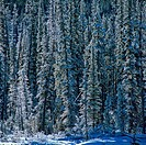 Snow covered trees in a forest, Jasper National Park, Alberta, Canada