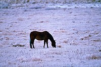 Horse grazing in a frost covered prairie, Alberta, Canada