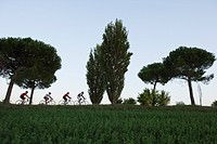 Group of cyclists at pine tree alley in the evening, Marche, Italy, Europe