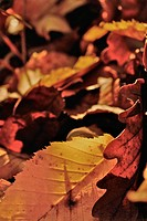 Yellow beech leaves and brown oak leaves on the ground, Hesse, Germany, Europe