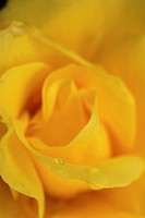 Close up of yellow rose blossom with drops of water