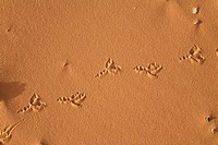 Bird´s spoor in the libyan desert, Libya, Sahara, North Africa