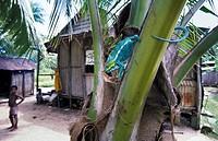 Panther Chameleon in village, Furcifer pardalis, Nosy Komba Island, Madagascar