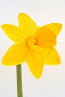 Raindrops on daffodil flower Narcissus pseudonarcissus hubr