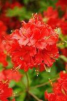 Royal Botanic Gardens Kew in Richmond, London, England Azalea garden Rhododendron hybr ´Norma´