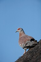 Speckled Pigeon Columba guinea on thatched roof, Pilanesberg Game Reserve, South Africa