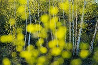 Spring trees as seen through out of focus leaves. Greater Sudbury, Ontario, Canada.