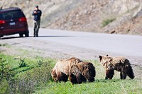 Grizzly bear family foraging at roadside with a tourist in the background