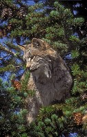 Canada Lynx Lynx canadensis climbs trees to wait & pounce on prey below, or for safety. Rocky Mtns, North America.