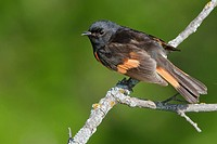 American Redstart stephaga ruticilla perched on a branch in Manitoba, Canada.