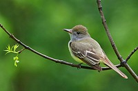 Great Crested Flycatcher Myiarchus crinitus perched on a branch in Manitoba, Canada.