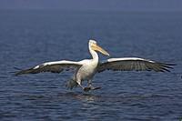 Dalmatian Pelican landing, Pelecanus crispus, Kerkini Lake, Greece, Europe