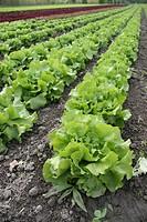 Freshly salad on an field