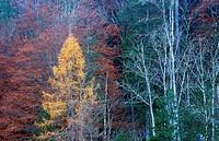 Europa, Austria, Steiermark, Wildalpen, Herbstlicher Wald