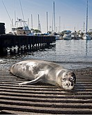 Hawaiian monk seal, Monachus schauinslandi, basking at boat ramp, young male, critically endangered, Honokohau Harbor, Kona Coast, Big Island, Hawaii,...