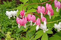 This macro image is of Dicentra spectabilis plants, otherwise known as the perennial bleeding heart flowers This stock photo shows both white and pink...