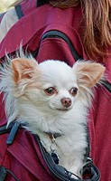 This cute long haired white Chihuahua dog is riding in the back of a girl´s burgundy colored backback Very cute pet stock image