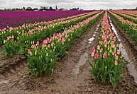 This gorgeous spring landscape is a very large rural field of puple and pink tulip bulbs after a spring rain The sky is still cloudy and threatening, ...