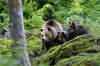 European brown bears (Ursus arctos), Female with cubs