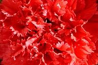 Red Carnation Macro