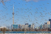 Swarm of mating Ring Billed Gulls at Leslie Street Spit Toronto
