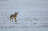 A Coyote Canis latrans at the National Elk Refuge in Wyoming.