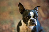 A young Boston Terrier dog looks at the camera while sitting on a rug.