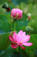 Lotus flowers, close up, differential focus