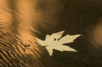 A Bigleaf Maple leaf floats down the Merced River at sunset in autumn.