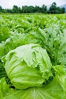 Lettuces in field, close up