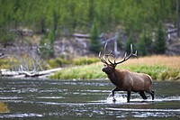 A bull Elk wades through the Madison River in Yellowstone.