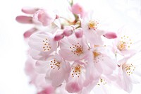 Close_up of cherry blossoms