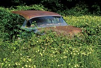 A rusting 1950s car rests in a thicket of overgrown leaves and flowers in the Blue Ridge Mountains of Virginia