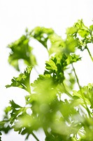 Parsley plants, Petroselinum crispum
