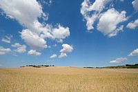 Ripe Wheat field with white clouds.