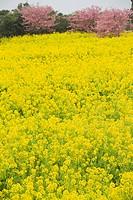 Rapa_blossomsBrassica rapa field, Japan