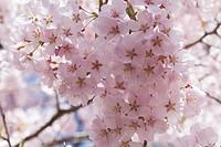 Cherry blossomsCerasus subhirtella, Japan