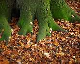 Tree roots covered with autumn leaves.
