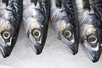 Mackerel fish, fresh catch of the day