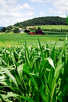 Corn with Farms in distance