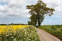 Country Lane with Oaks and Rape Crop Norfolk May