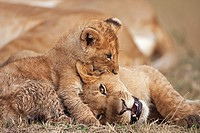 Lion (Panthera leo) cub aged about 4 months playing boisterously with an older cub aged about 9 months, Maasai Mara National Reserve, Kenya