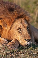 Lion (Panthera leo) male resting -portrait-, Maasai Mara National Reserve, Kenya