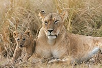 Lioness (Panthera leo) resting with her 4 month old cub, Maasai Mara National Reserve, Kenya