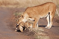 Lioness (Panthera leo) picking-up one of her 2-3 month old cubs, Maasai Mara National Reserve, Kenya