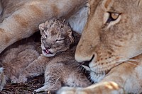 Lioness (Panthera leo) with cub less than 2 days old, Maasai Mara National Reserve, Kenya