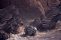 Common or Plain's Zebra (Equus quagga burchellii) crossing the Mara River, Maasai Mara National Reserve, Kenya